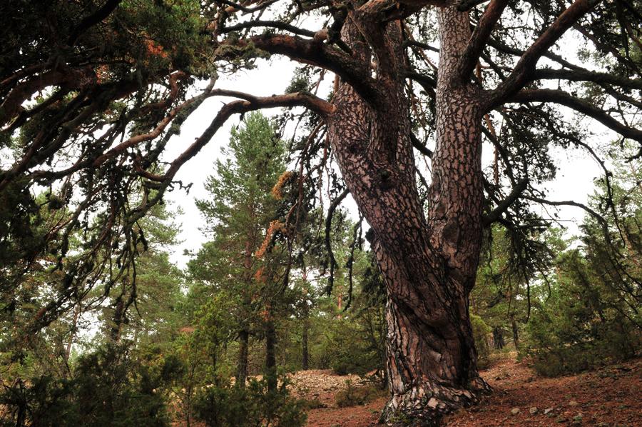 La historia del Pino Vicente del Parque natural de la Puebla de San Miguel