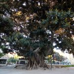 La sombra de cuatro grandes ficus de Valencia: los históricos ficus del Parterre y la Glorieta