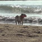 La playa para perros de Pinedo triunfa por tercer año consecutivo