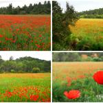 Los campos de amapolas de Mijares, la pequeña aldea de Buñol