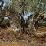 La mayor concentración mundial de olivos milenarios está en la Comunidad Valenciana
