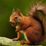 La nueva vecina de la ciudad de Valencia, la ardilla roja, se libera el lunes en los Jardines del Turia