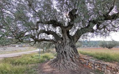 La Morruda, una impresionante olivera de aproximadamente 1500 años