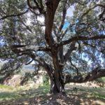 La Carrasca de Culla, un gran árbol junto a un restaurante de obligada visita