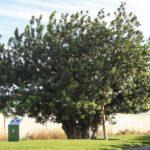 La garrofera de Alaquàs opta a ser el Árbol del año 2021 en España